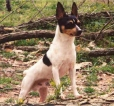 Toy Fox Terrier, 2 years, Tri color